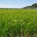 お米の成長01