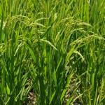 お米の成長03