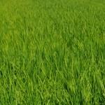 お米の成長05
