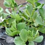 空豆の成長記録01