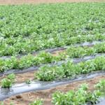 空豆の成長記録02